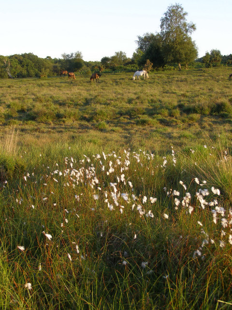 Cotton Grass on the edge of Starpole Pond, New Forest
