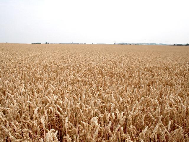 Wheat Field near Trelasdee Barn