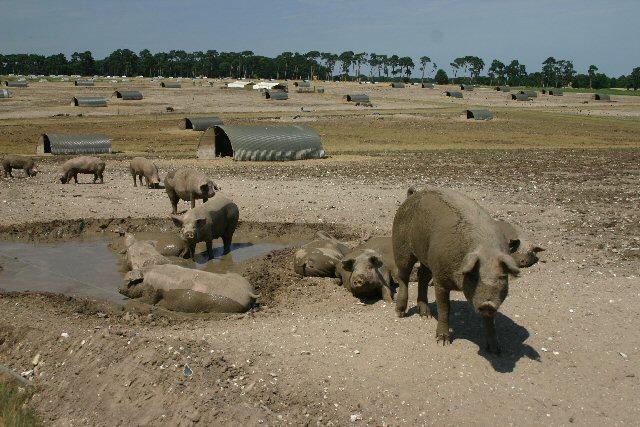 Organic pig farming