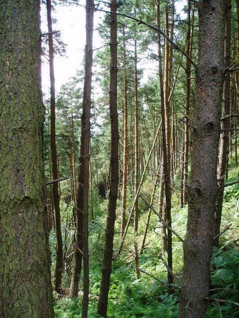 Forest above Rhewl