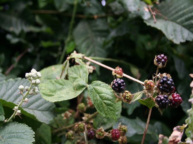 Early Blackberries