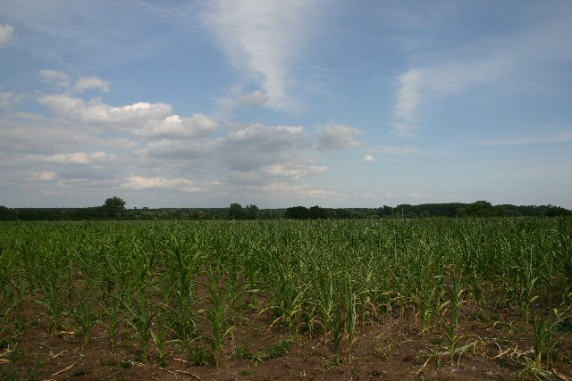 Maize field at Icklingham