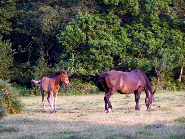 Ponies grazing on the edge of Little Honeyhill Wood, New Forest