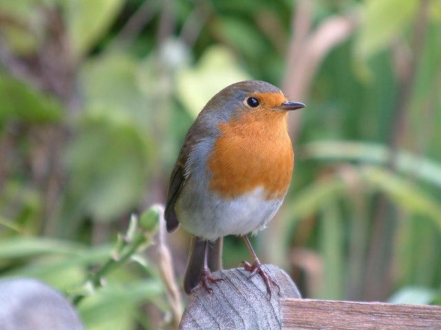 A Robin at Buckfast Abbey