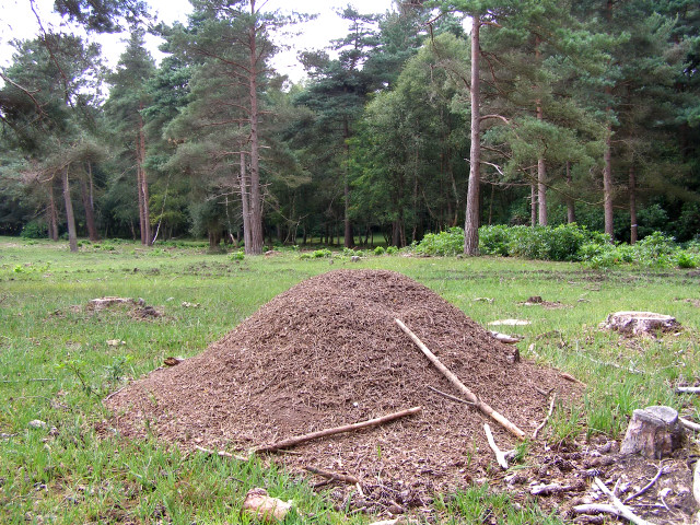 Wood ant nest on Copythorne Common