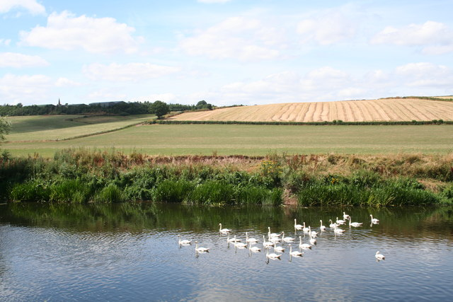Swans on the River Wye near Brinkley Hill