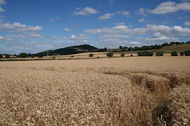 Wheatfield near Grafton