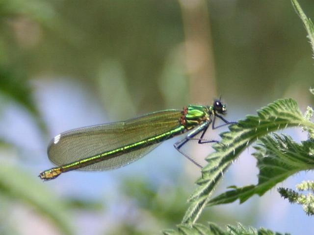 Female Banded Demoiselle by the River Wye