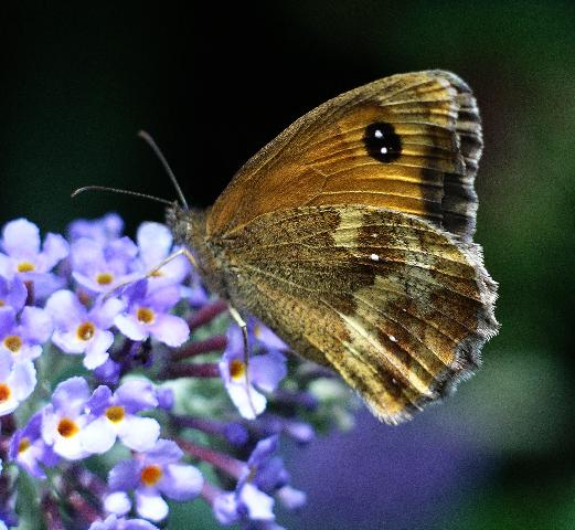 Gatekeeper (Pyronia Tithonus) underside © Lynne Kirton ...