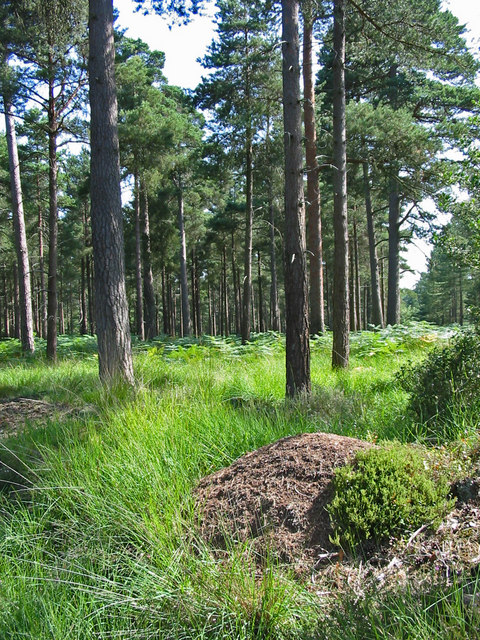 Ants nest Slufters inclosure New Forest Hampshire