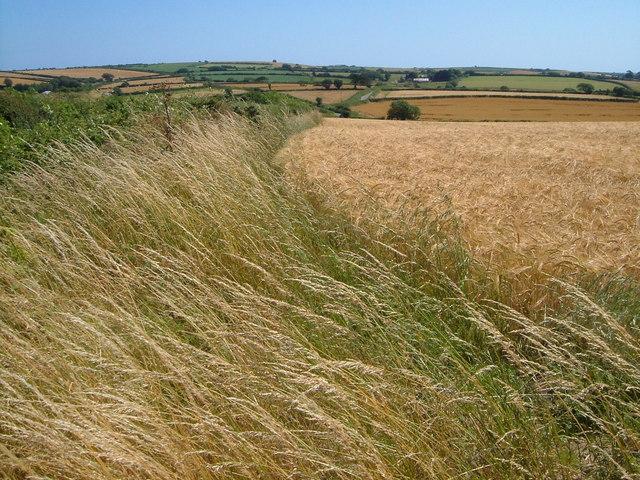 Field of barley at Green Lane End