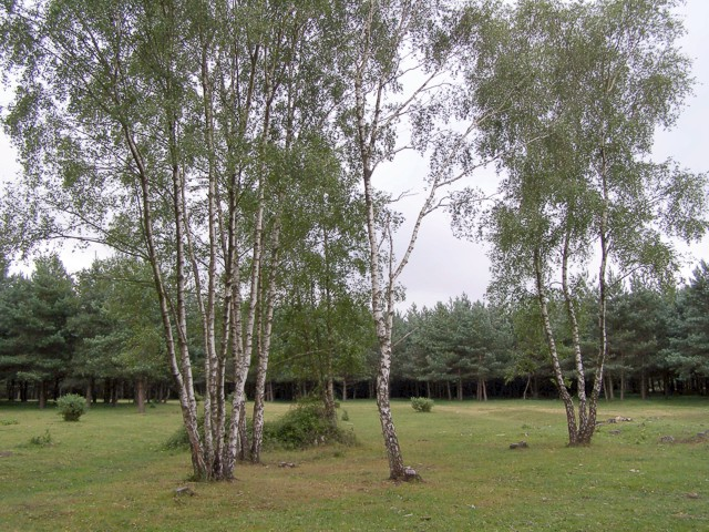 Silver birch on Copythorne Common