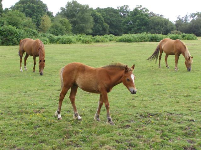 Ponies on Cadnam Common