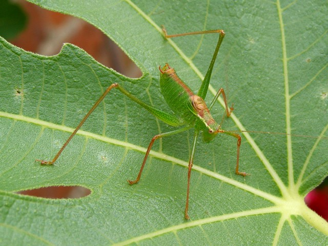 Speckled bush cricket on a fig leaf