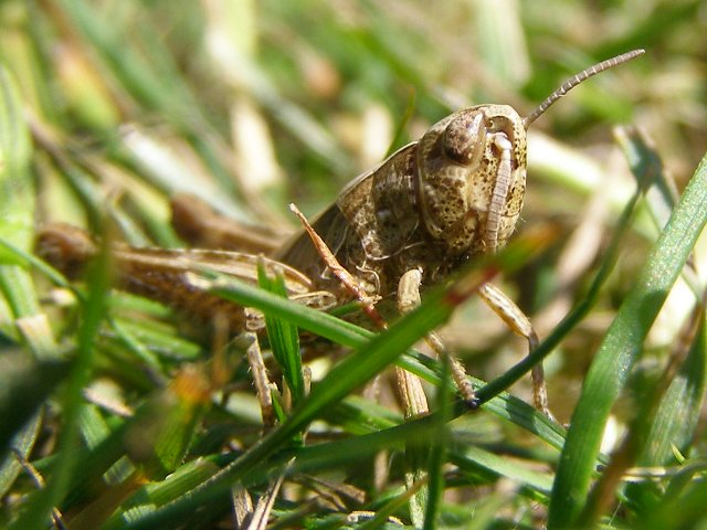 Field grasshopper in grass near Ober Water, New Forest