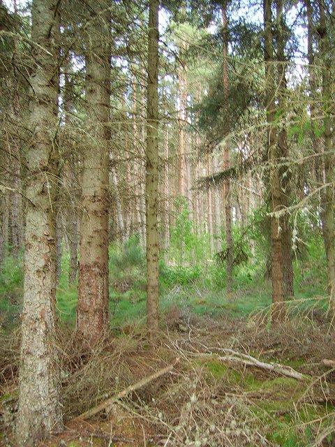 Knockbain Wood.