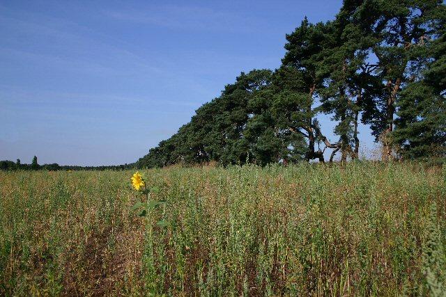 Set-aside field near Herringswell