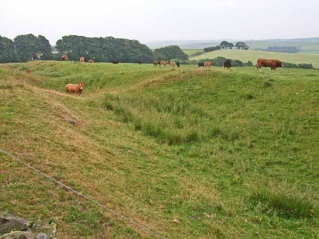 Cattle in the Vallum