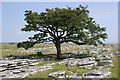 NY6609 : Hawthorn on Limestone Pavement by Peter Standing