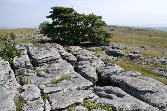 Sycamore on Limestone Pavement