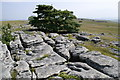 NY6609 : Sycamore on Limestone Pavement by Peter Standing
