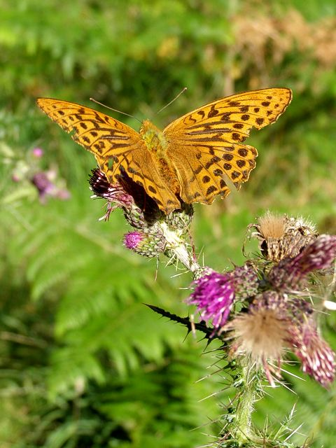 Fritillary on a thistle, Parkhill Inclosure, New Forest
