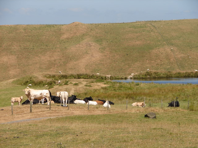 Cattle by reservoir at Banc Blaen Magwr