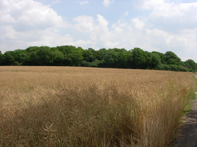 Piper's Wood  and Oilseed Rape Field