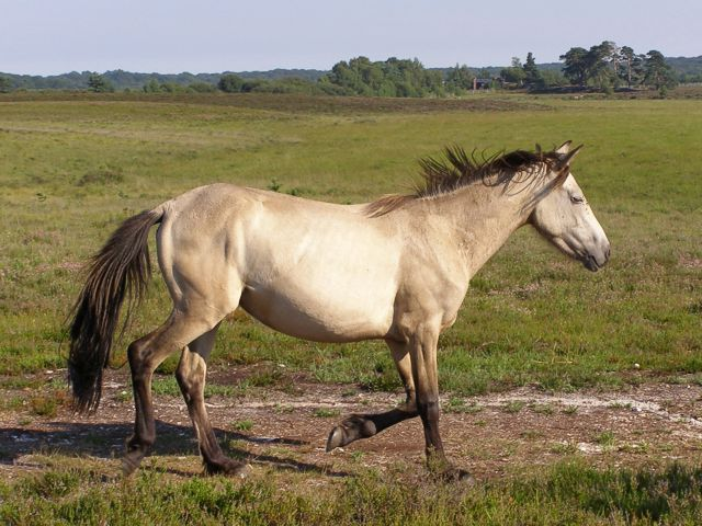 Trotting pony at Shatterford Bottom, New Forest