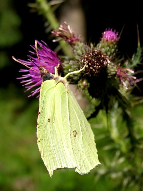 Brimstone on a thistle, Parkhill Inclosure, New Forest
