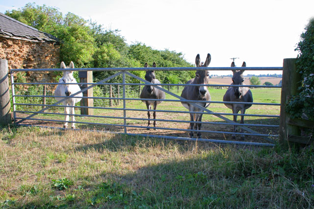 Donkeys at Tilton Grange