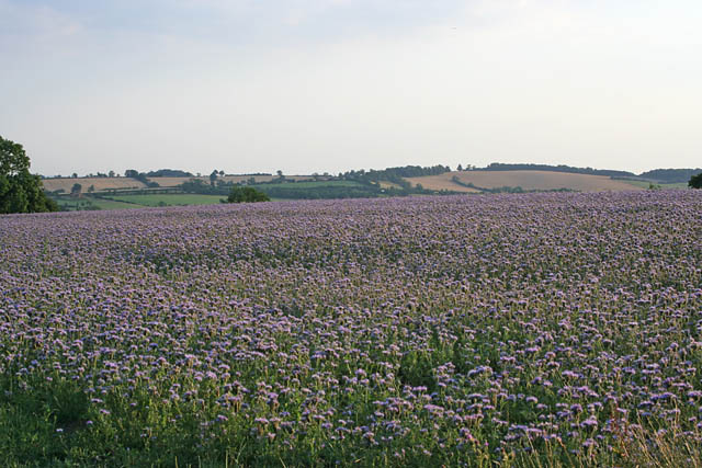 Mystery crop in the Leicestershire countryside