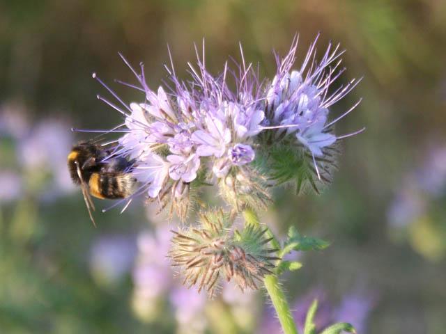 Phacelia with bee