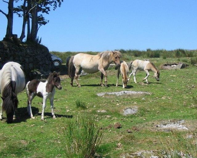 Dartmoor ponies and foals