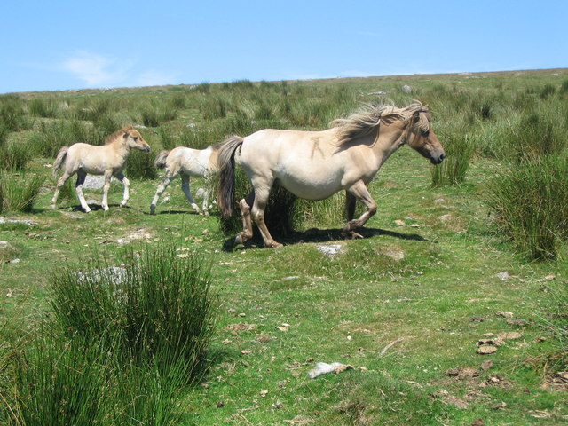 Dartmoor pony and foals