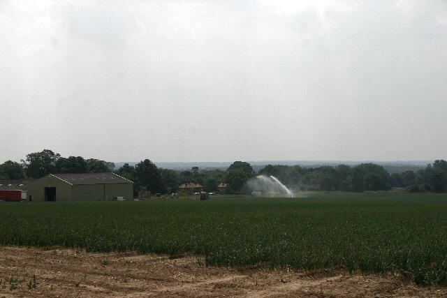 Onion field at Avenue Farm