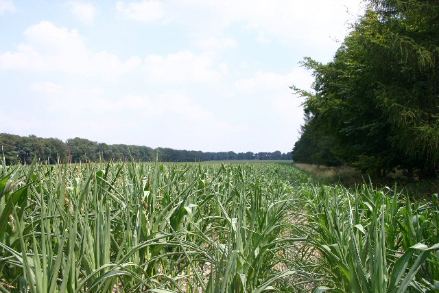 Maize crop at How Hill