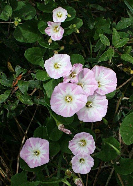 Field Bindweed Flowers