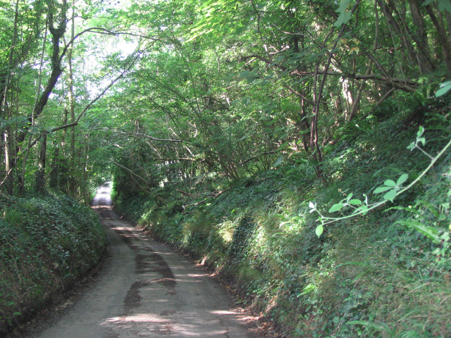 Leafy lane through Backpath Wood