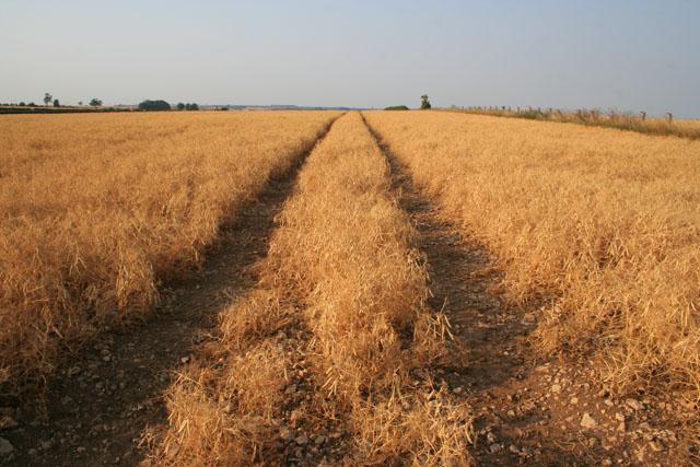 Field on Barkston Heath