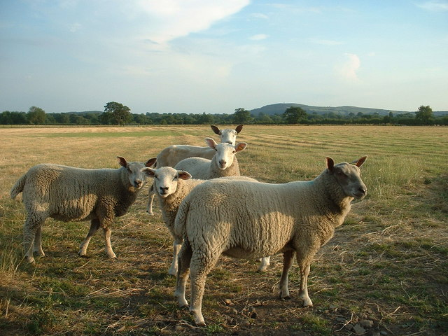 Sheep at Bramley Farm