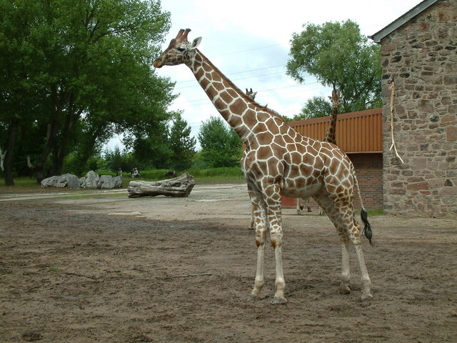 Chester Zoo, Giraffe