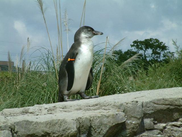 Chester Zoo, Penguin