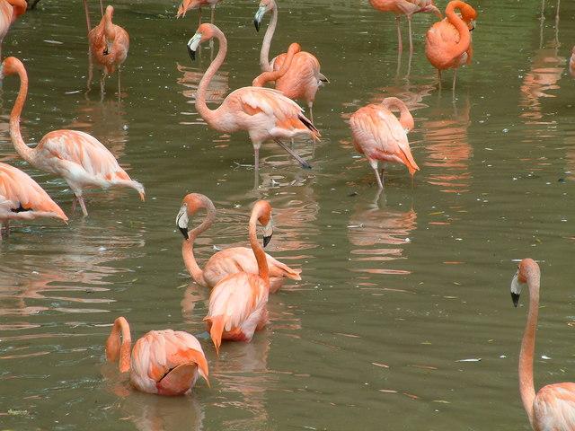Chester Zoo, Flamingos