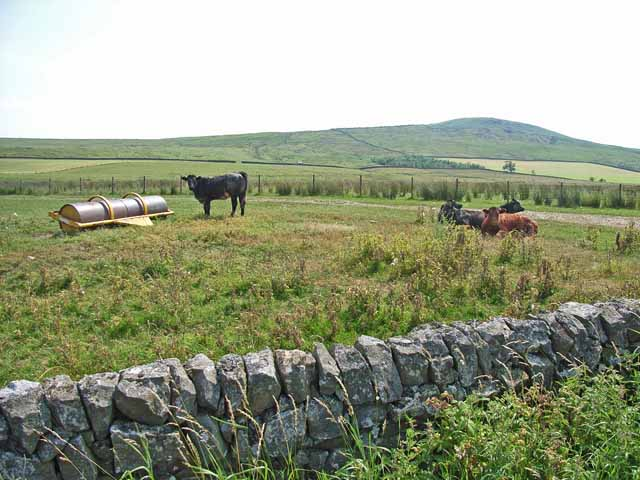 Cattle near Sorbietrees, Newcastleton