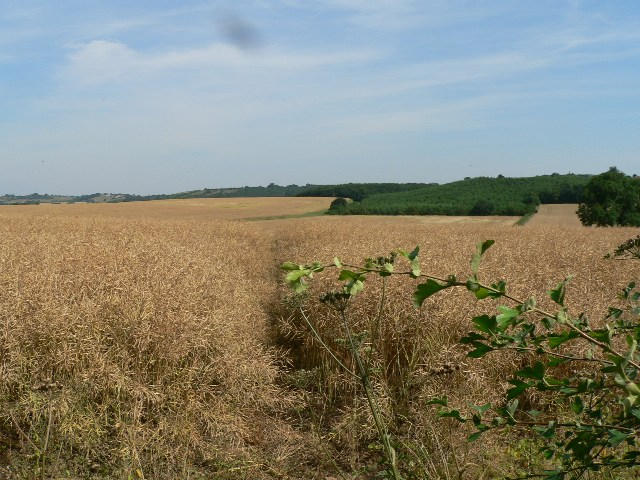 Through Oil Seed Rape To Stittenham