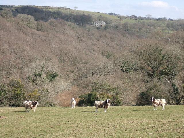 Jacob sheep in Gwaun valley/Cwm Gwaun