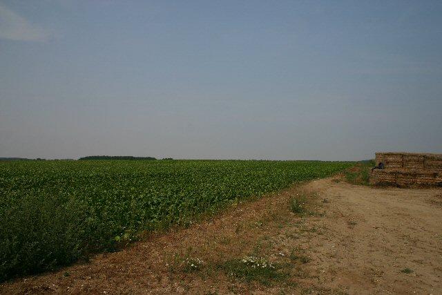 Sugar beet field near Ixworth