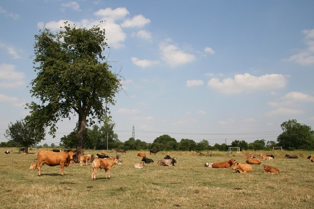Cattle at Dunham-on-Trent