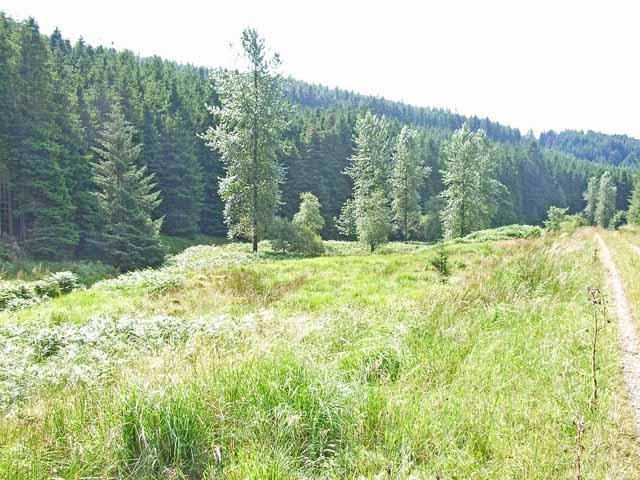 Poplars in the Kershope valley